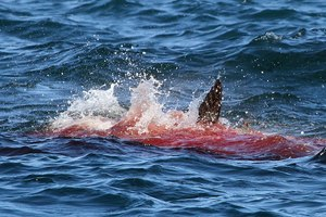 CAN'T-MISS: Killer Whales FIGHT Great White Sharks