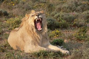 WATCH: Lion Versus Human. Guess Who Wins?