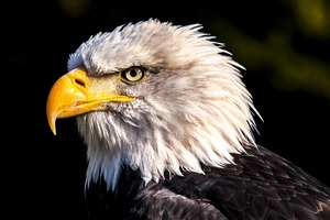 This Bald Eagle Video Will Have You Ready to Enlist
